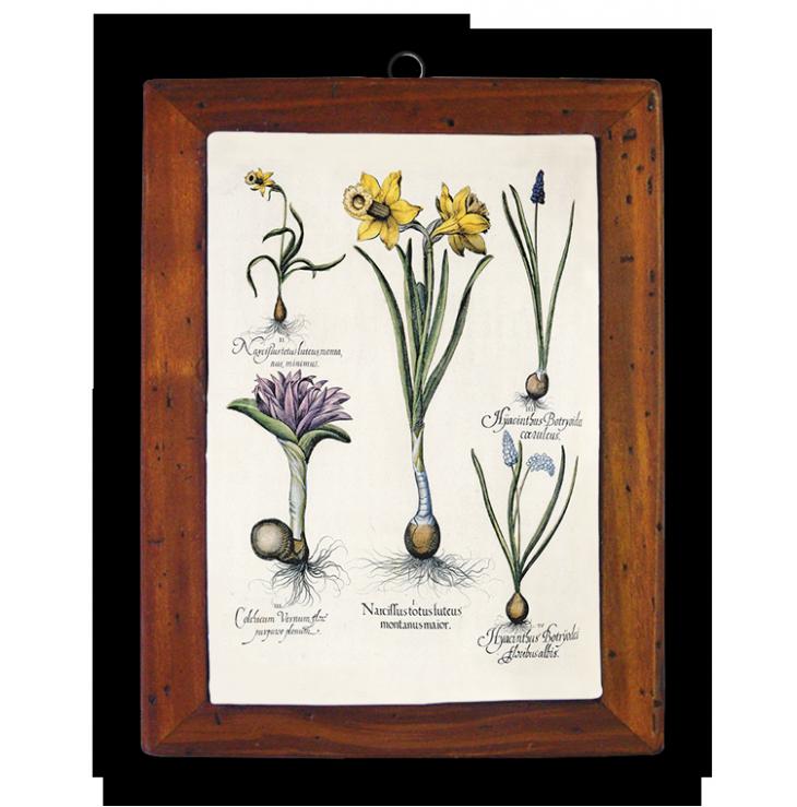 Narcissus, Colchicum, Hyacintus