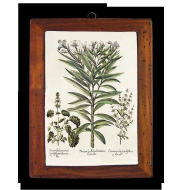 Ocinum Basilicum, Oleander